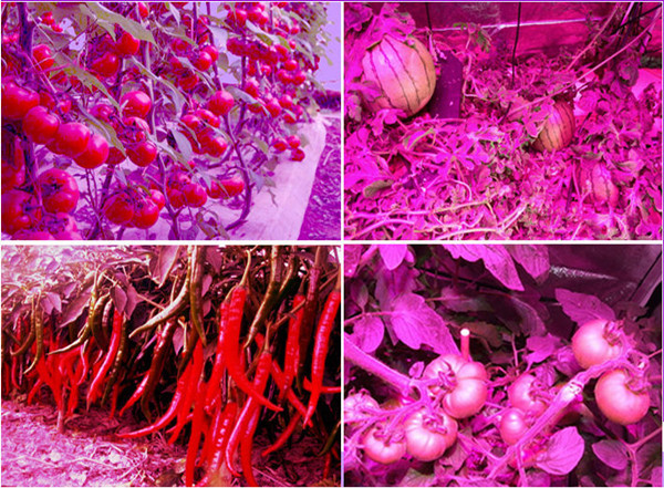 Jiangxi LED vegetable factory output good quality vegetables