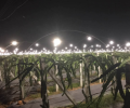 LED plant growth lights light up the dragon fruit field
