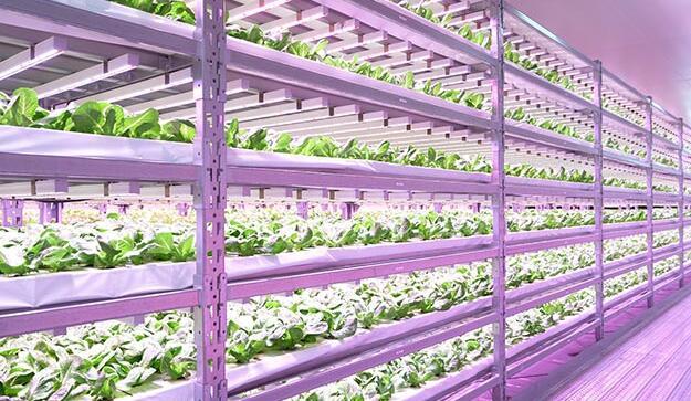 Japan Vertical Farm Use Philips Led Grow Lighting