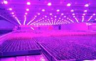 A vertical farm in Scotland reduces energy consumption by 50% with LED lighting
