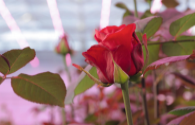 Signify and Linxia Baiyi signed a cooperation agreement on cut flower rose light formula