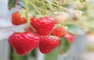 Strawberry special LED light perfume, strawberry turns red, increase by 30%