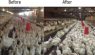What effect does LED lighting have on poultry farming?